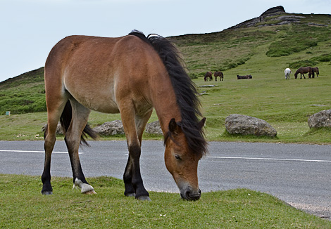 Dartmoor Pony On Haytor in Devon